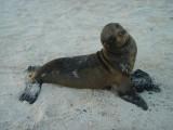 Giovane foca